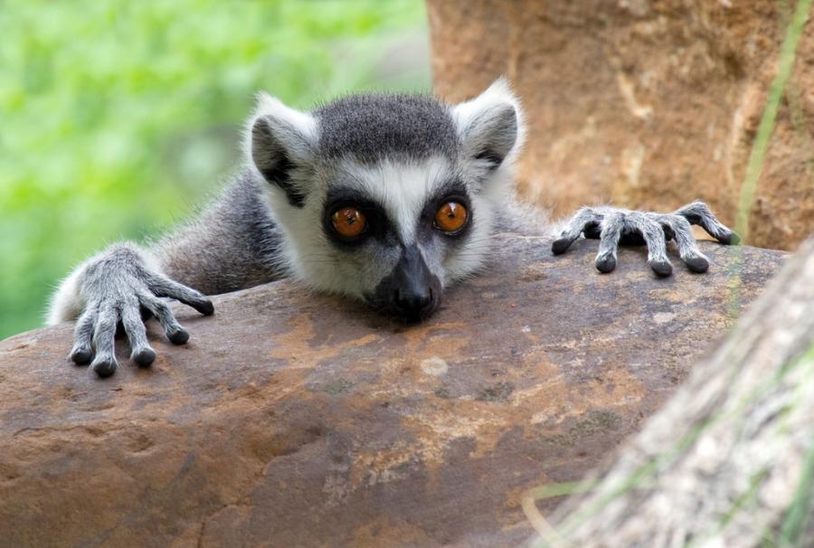 curious_lemur